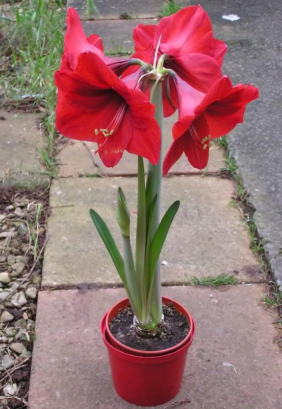 Гиппеаструм - яркий праздничный цветок